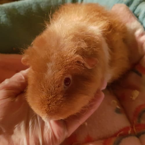 Ginger -  Guinea Pig