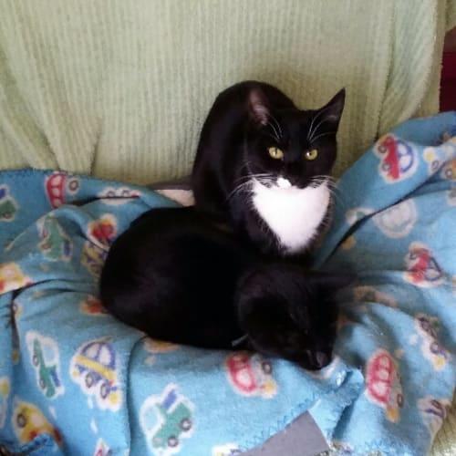 Ramona - Domestic Short Hair Cat