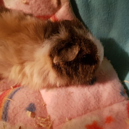 Cupcake (daughter of Izzy) - Abyssinian Guinea Pig