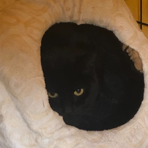 Nellie -  Located in Melbourne - Domestic Short Hair Cat