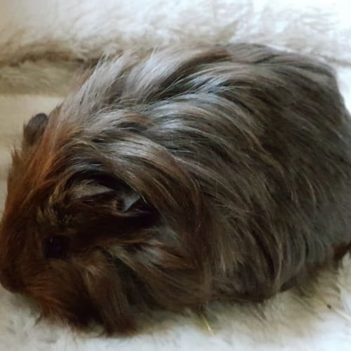 Bella ( and buttercup) -  Guinea Pig