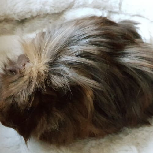 Buttercup ( sibling of Bella) -  Guinea Pig