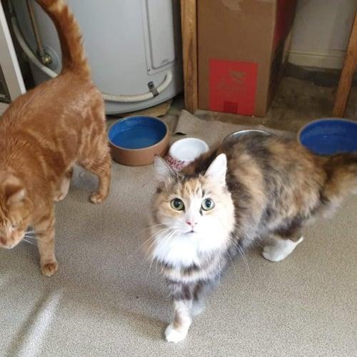 Archie & Saffy - Domestic Medium Hair Cat