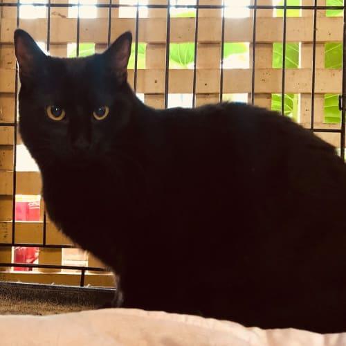 Magic - Domestic Short Hair Cat