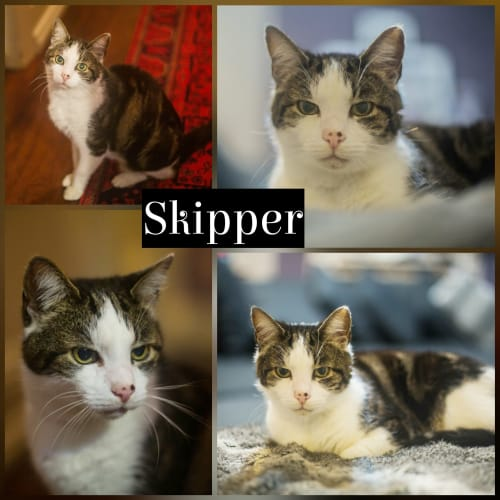 Skipper - Domestic Short Hair Cat