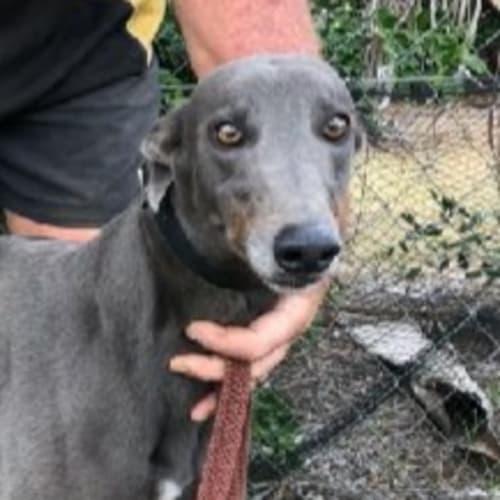 Bree - Greyhound Dog