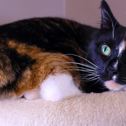 Celine - Domestic Short Hair Cat