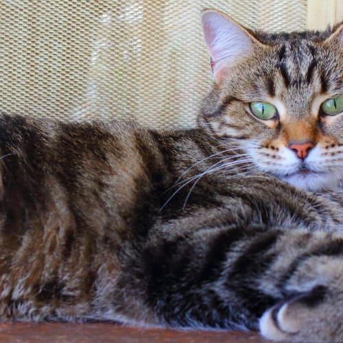 Esme - Domestic Short Hair Cat
