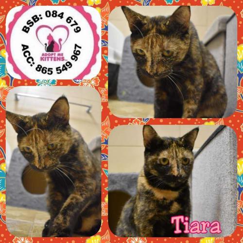 Tiara - Domestic Short Hair Cat