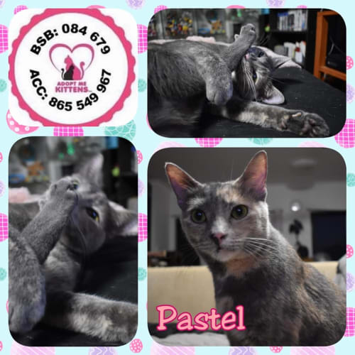 Pastel - Domestic Short Hair Cat