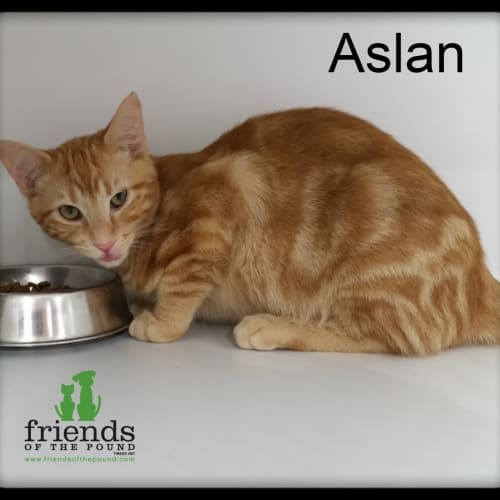 Aslan - Domestic Short Hair Cat