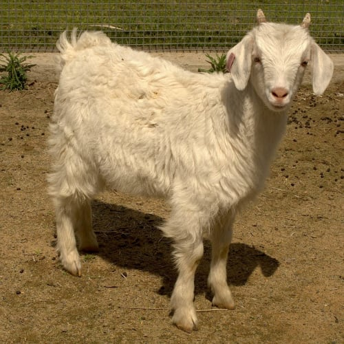 Melody -  Goat