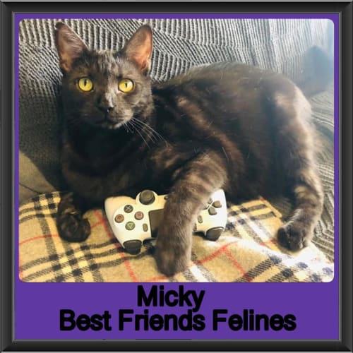 Micky - Domestic Short Hair Cat