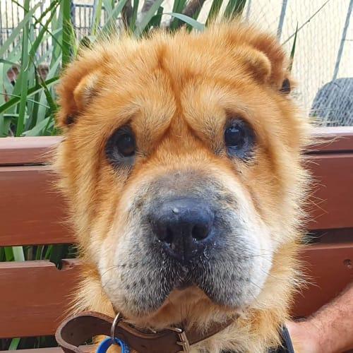 Mumma Bear  - Shar-Pei Dog