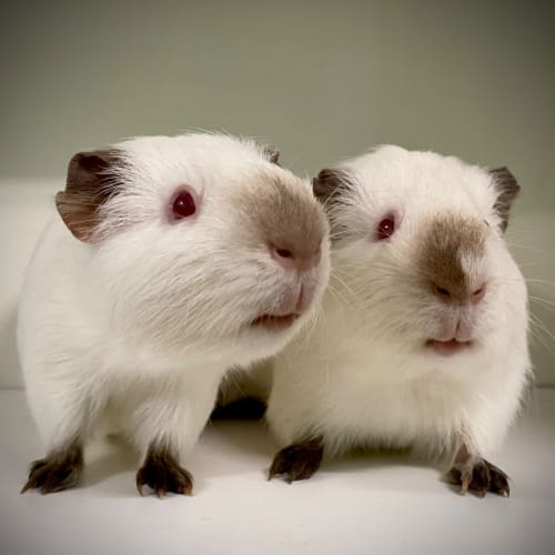 Coconut and Vanilla Bean  - Himalayan Guinea Pig