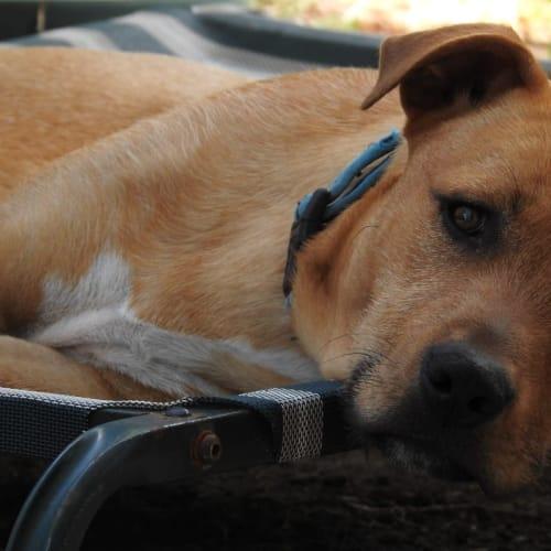 Jax - Bull Arab Dog