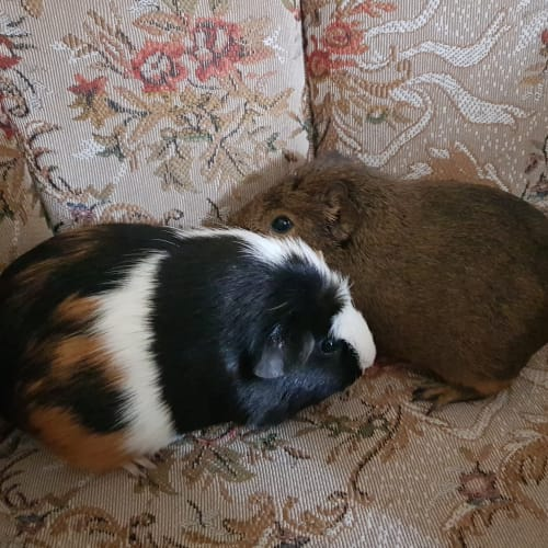 Miss Noddy ( buddy of Peppa) - Smooth Hair Guinea Pig