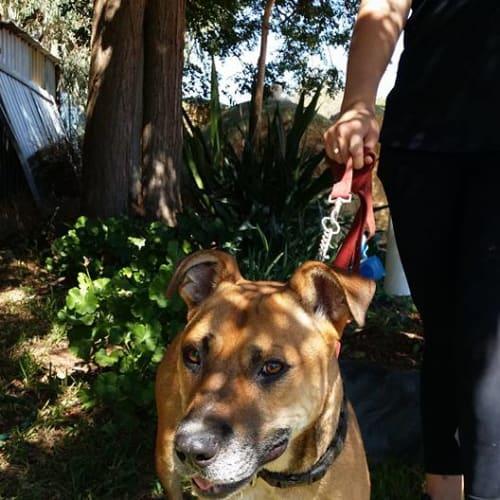Dickson - American Staffordshire Terrier x Ridgeback Dog