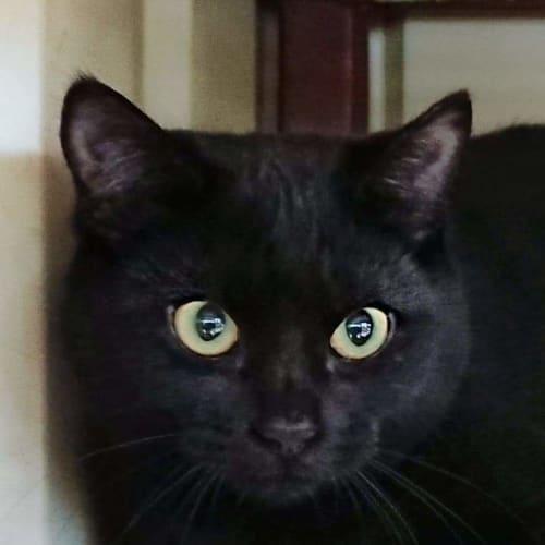 Shar - Domestic Medium Hair Cat