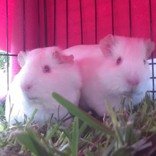 Irina & Illia - Smooth Hair Guinea Pig