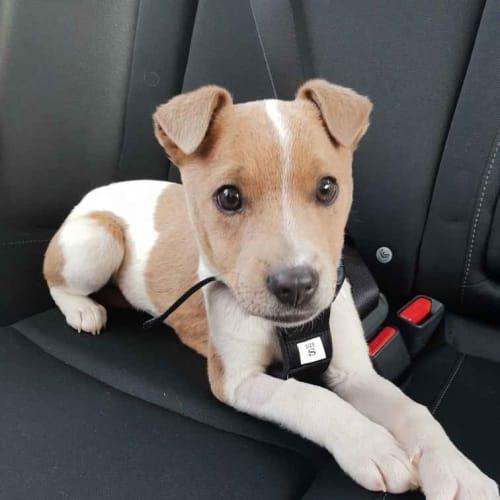 Amber - Cross breed Dog