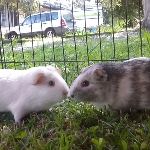 Stacy & May - Smooth Hair Guinea Pig