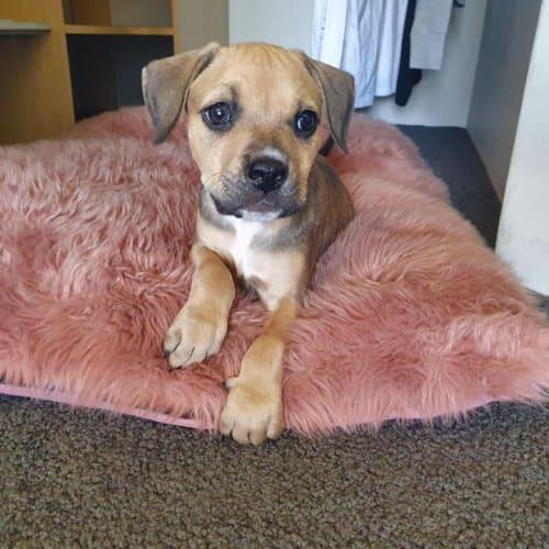 Puppy Brax DL2258 - Mastiff Dog