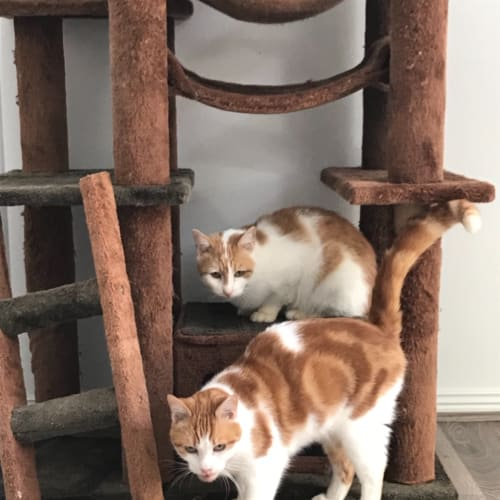 Ren and Stimpy - Domestic Short Hair Cat