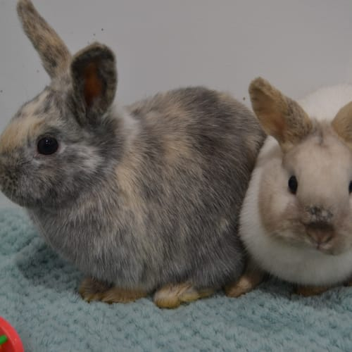 Marley and Dannii - Netherland Dwarf Rabbit