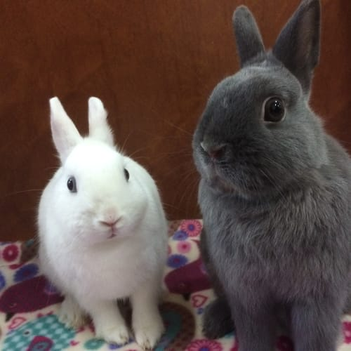 Snowball and Smokey - Netherland Dwarf Rabbit