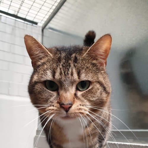 Shaz - Domestic Short Hair Cat
