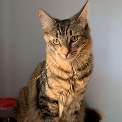 Pirate - Domestic Medium Hair Cat