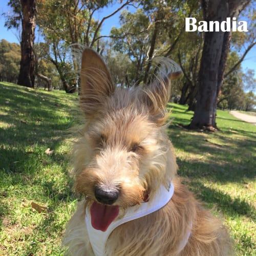 Bandia - Mixed Breed Dog