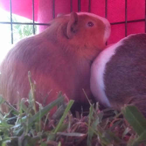 Lily & Luna - Smooth Hair Guinea Pig