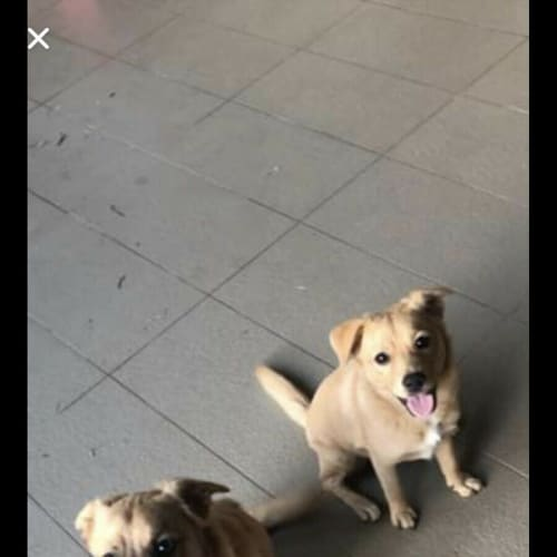 Leo and Luna  - Australian Cattle Dog x Pomeranian Dog