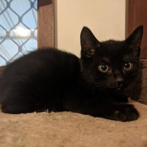 Garner - Domestic Short Hair Cat