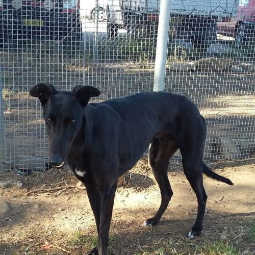 Nicholas - Greyhound Dog