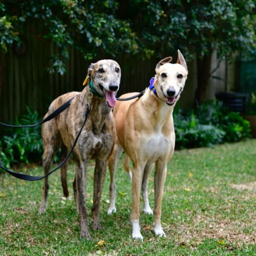 Piper and Frankie - Greyhound Dog