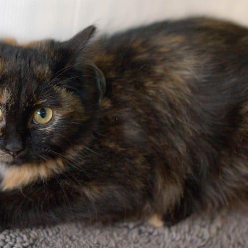 Cherie - Domestic Medium Hair Cat