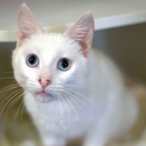 Billy - Domestic Short Hair Cat