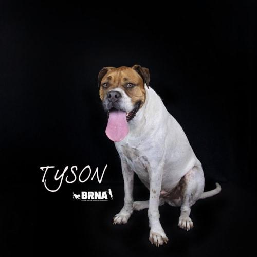Tyson - Boxer Dog