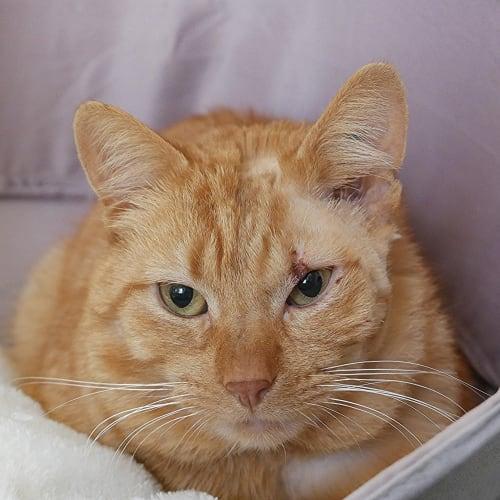 Rohan STA004240 - Domestic Short Hair Cat