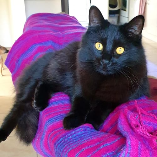 Luthor - Domestic Medium Hair Cat