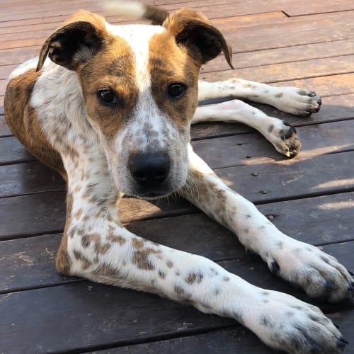 Duke - Bull Arab Dog