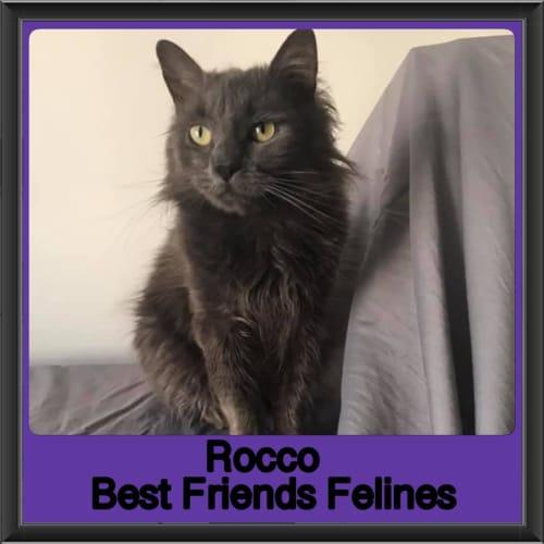 Rocco  - Domestic Long Hair Cat