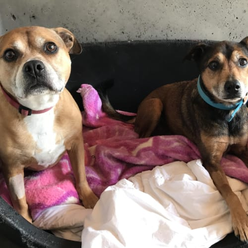 Vicky and Bella - Kelpie Dog
