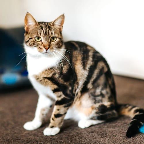 1328 - Tori - Domestic Short Hair Cat