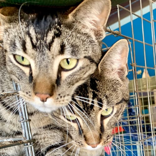 Maverick and Maynard - Domestic Short Hair Cat