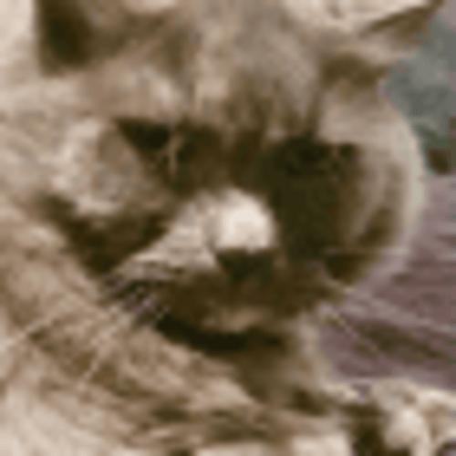 Lady - Domestic Long Hair Cat