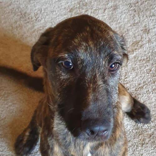 Brinnie - Wolfhound Dog